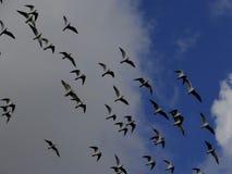 Flying gulls in the autumn sky stock photos