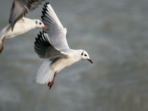 Flying gulls Royalty Free Stock Photos