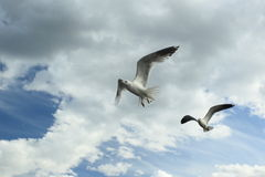 Flying gulls Stock Photo
