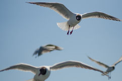 Flying gulls (mews, seagulls) Royalty Free Stock Images