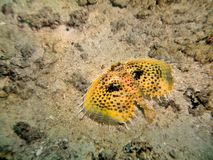 Flying Gurnard Royalty Free Stock Image