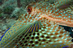 Flying Gurnard Stock Photography