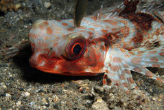 Flying Gurnard Royalty Free Stock Photos