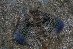 Flying gurnard Stock Photo
