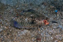 Flying gurnard Royalty Free Stock Photography