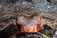 Flying gurnard Stock Image