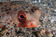 Flying gurnard Royalty Free Stock Images