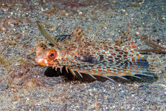 Flying gurnard Dactylopterus volitans fish underwater Royalty Free Stock Photography