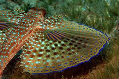 Flying Gurnard Fish. A underwater photo of a flying gurnard fish showing its colourful wings Stock Photo