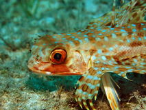 Flying Gurnard Fishface Stock Images