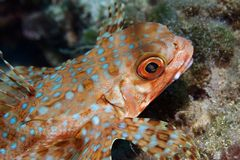 Flying Gurnard Macro Stock Photography