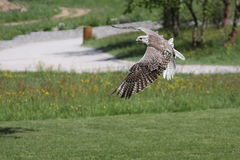 Flying gyrfalcon Royalty Free Stock Images