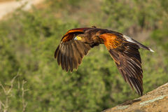 Flying Harris' Hawk Stock Image