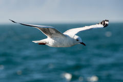 Flying Hartlaub's Gull Royalty Free Stock Image