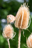 Flying harvest mouse Royalty Free Stock Photography