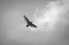Flying hawk Stock Images