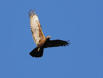 Flying hawk Royalty Free Stock Photography