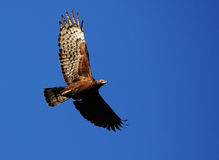 Flying hawk Stock Image