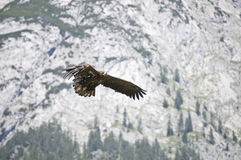 Flying hawk Royalty Free Stock Image