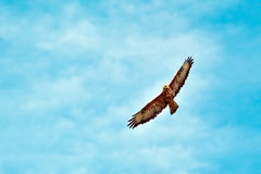 Flying hawk. Hawk flying against the sky royalty free stock photo