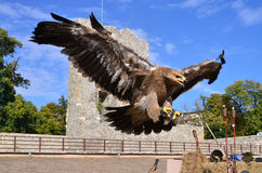 Flying hawk attack Stock Photography