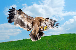 Flying hawk attack Royalty Free Stock Photography