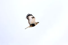 Flying Hawk Buteo lagopus Royalty Free Stock Images