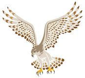Flying Hawk ,Isolated Royalty Free Stock Photography