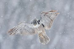Flying Hawk Owl with snow flake during cold winter. Finland Royalty Free Stock Photos