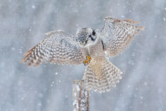 Flying Hawk Owl with snow flake during cold winter. Owl landing in tree trunk. Cold winter in Finland. Wildlife scene from nature. Flying Hawk Owl with snow stock photo