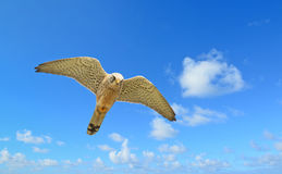 Flying hawk under a blue sky Royalty Free Stock Photo
