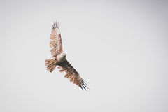 Flying hawk. Hawk is flying on the white sky Royalty Free Stock Photos
