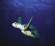 Flying hawksbill Royalty Free Stock Photography