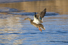 Flying Hen Mallard. Late evening shot of a hen Mallard over a semi frozen pond Royalty Free Stock Photography