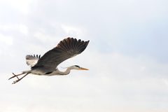 Flying heron Stock Photography