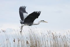 Flying heron Stock Photos