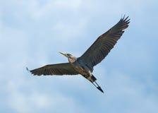 Flying Heron royalty free stock image