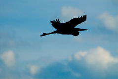 Flying Heron Royalty Free Stock Photo