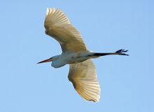 Flying heron Royalty Free Stock Images