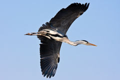 Flying heron. In the Netherlands royalty free stock photography