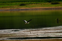A flying heron above the water Stock Images