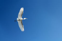 Flying heron bird Royalty Free Stock Image