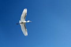 Flying heron bird. Flying beautiful white heron bird on blue sky Royalty Free Stock Image