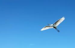 Flying heron bird. Flying beautiful white heron bird on blue sky Royalty Free Stock Photos
