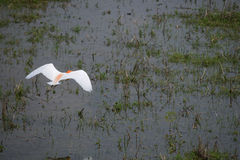 A flying heron bird in the rice field Stock Images
