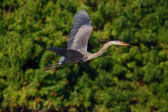 Flying heron in the green forest habitat. Action scene from nature. Great Blue Heron, Ardea herodias, in fly. Wildlife in Florida, Stock Images