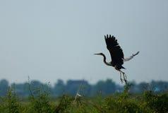 Flying heron. In Nakhonsawan province of Thailand Stock Photo