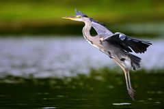 Flying heron on the river royalty free stock photography
