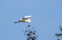 Flying heron Stock Photo