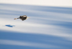 Flying heron in winter. Stock Image